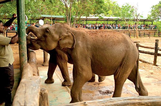 A man Feeding an Elephant